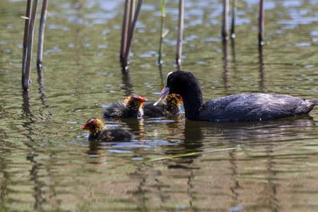 coot: Eurasian coot feeding her chicks