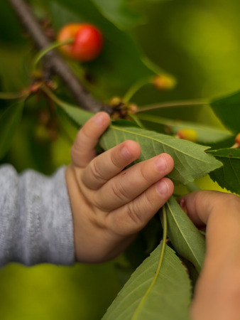 Baby's hand touching a cherry tree's leaves