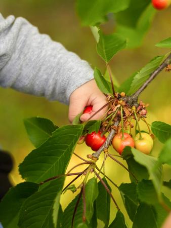 Baby's hand holding a ripe cherry Standard-Bild
