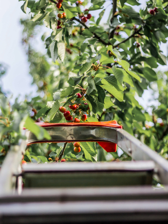 Ladder into a cherry tree