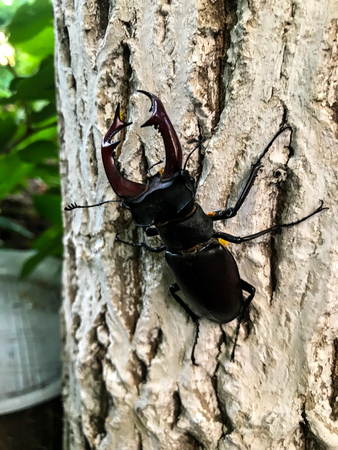 Stag beetle climbing on a tree