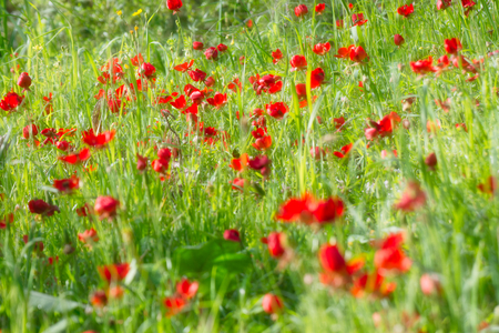 Red flowers at the spring morning.
