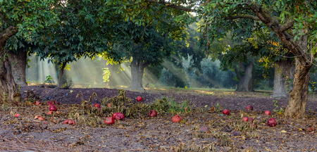 Landscape of green trees with ripe pomegranates on the ground in sunbeams.