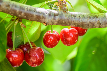Cherry`s tree with fresh and sweet cherries on it.