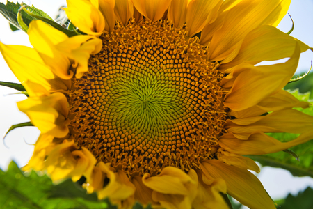 Amazing bright sunflowers growing in a nice field on a sunny day Stock fotó