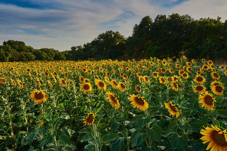 View of sunflowers field