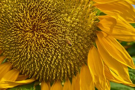 Sunflower close-up in the field