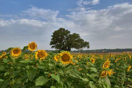 Sunflower field and alone tree on it Stock fotó