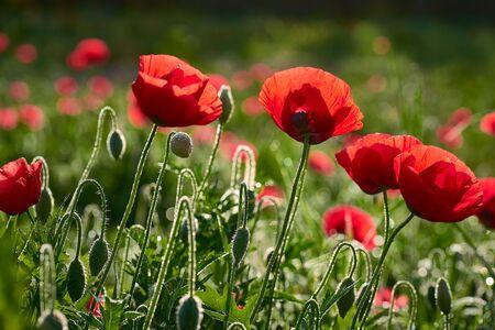 A field of poppies Stock fotó