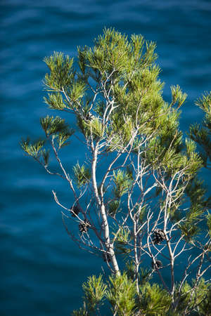 Detail of this pine, typical tree of Costa Brava coast, on a blue sea background.