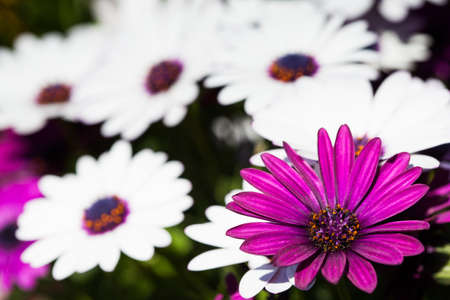 Detail of some spring daisies with great purple daisy in right of the image. Stock Photo