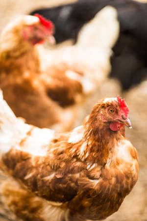 free range: Hens in a free range farm.