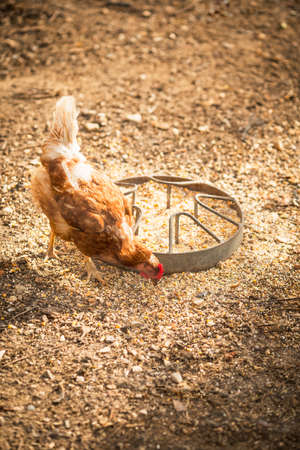 free range: Hens in a free range farm. This hens lay first quality organic eggs.