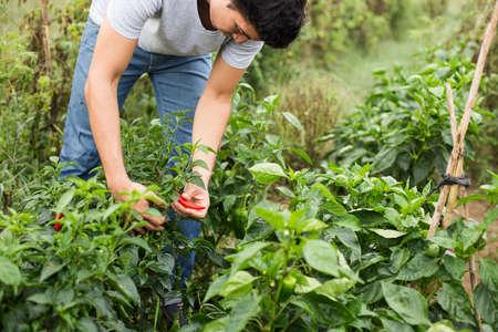 joven agricultor: Agricultor joven que controla las verduras.