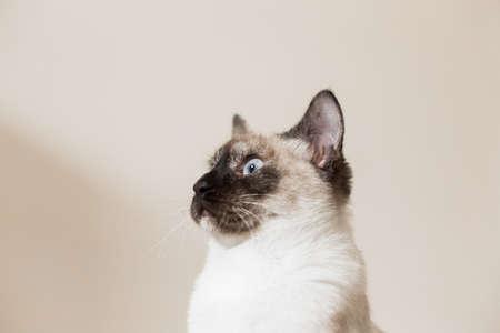 snazzy: Funny siamese cat portrait. Stock Photo