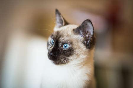 snazzy: Nice siamese cat portrait.