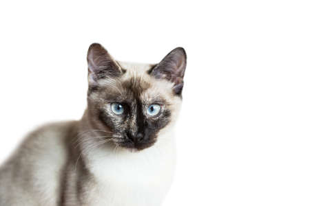 snazzy: Nice siamese cat portrait isolated on white background