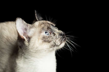 snazzy: Studio siamese cat portrait isolated on black background.