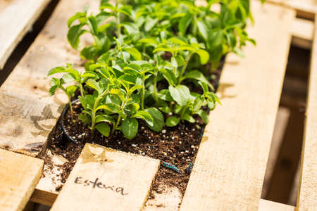 substitute: Stevia plants, natural substitute of sugar.