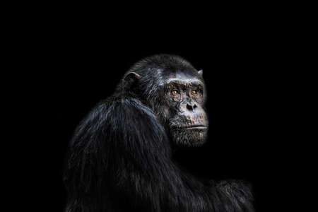 animal sad face: Sad chimp portrait black background. Stock Photo