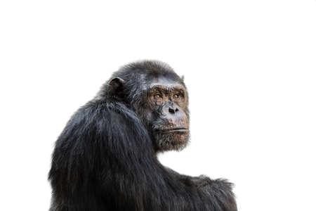 chimp: Sad chimp portrait isolated on white background.
