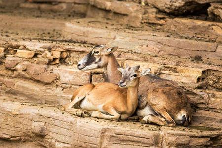 mouflon: Female mouflon in a zoo.