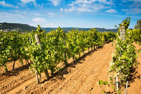 Great vineyard landscape with the ripe grape ready to harvest. Stock Photo