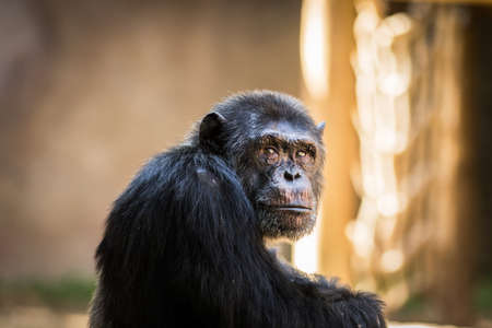 chimp: Sad chimp portrait in a zoo Stock Photo
