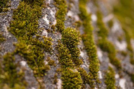 Green moss on walnut bark closeup. Stock photo of walnut tree bark and forest green moss. Foto de archivo