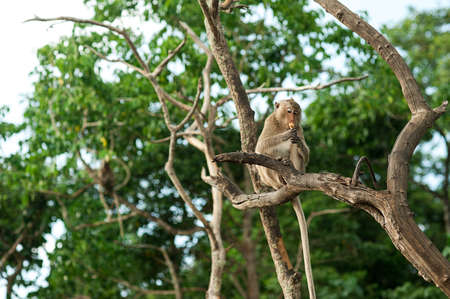 stolen: Monkey waiting for and looking for chance to stolen food in an island of andaman sea ,thailand. Lipe island.