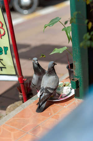 peck: pigeons on the streets of Pattaya, Thailand. from the trough peck rice