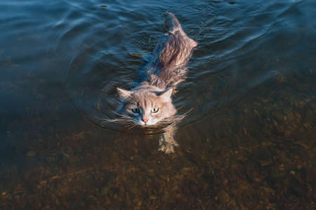 gray mustache cat floating on the river, in the light of sunset