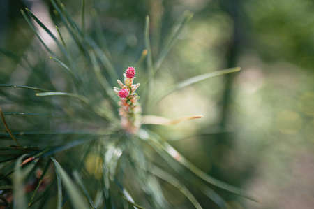 pine flower in spring in the sunlight close-up,