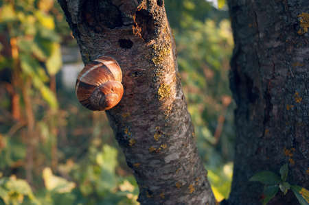 a tree-breaking snail on a tree trunk, between two wooden branches, on a sunny day