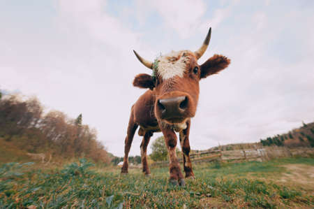 A beautiful little calf buried his nose in the camera lens