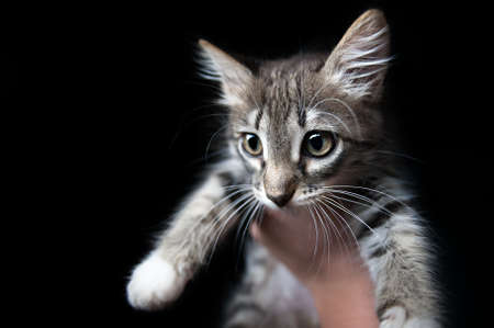 small gray kitten on a hand, on a black background