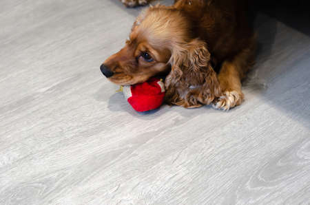 Funny, funny and naughty dog breed Cocker Spaniel tore a toy