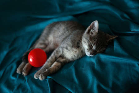 Beautiful gray little cat sleeping on the couch with a red ball. Shallow depth of field, bokeh, tilt shift