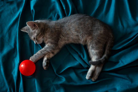 Beautiful gray little cat sleeping on the couch with a red ball 스톡 콘텐츠