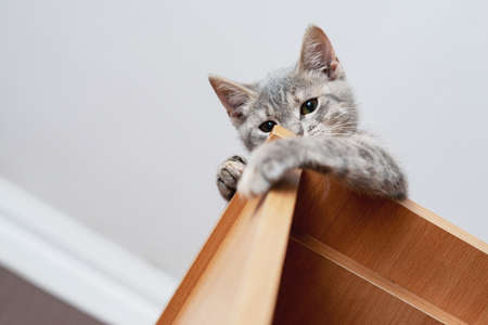 Funny gray kitten sitting on top of furniture. The kitten is looking at the camera. Shallow depth of field