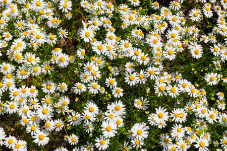 The background is of a field of daisies. The view from the top.