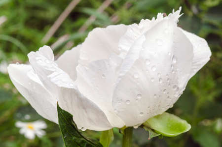 A white peony with raindrops on its petals. The flowers in the garden, backgrounds, close-up. Foto de archivo