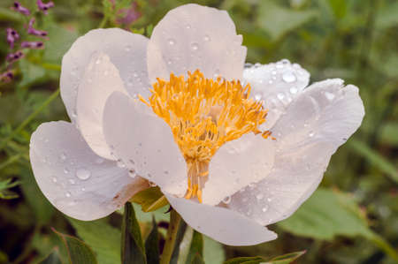 White peony Claire de Lune with raindrops on the petals. Backgrounds, textures, flowers in the garden.