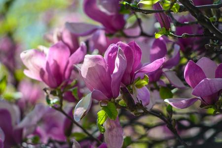 Flowers of magnolia in botanical garden of Kyiv, Ukraine