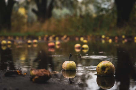 Fallen wild apples in the puddle Archivio Fotografico