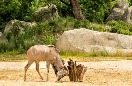 greater: Greater kudu antelope scratching his head