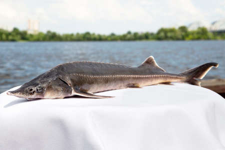 sturgeon: Fresh sturgeon caught in the river lies on a white tablecloth