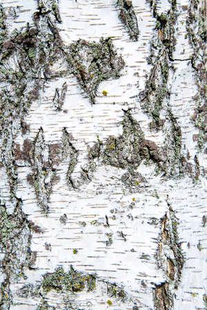 bark peeling from tree: bark birch tree on the entire frame