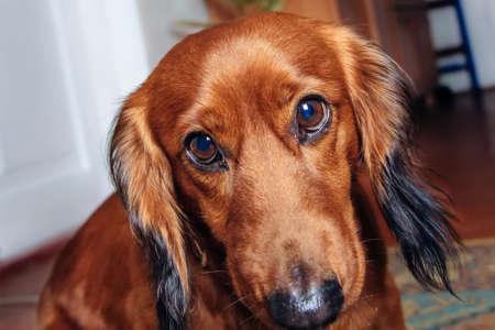 breed: pet portrait dog breed dachshund Stock Photo