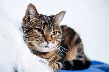 housecat: housecat tabby lying on a white background